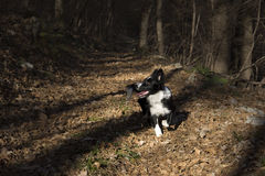 Border collie puppy immersed in the autumn leaves Stock Image
