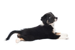 Border Collie Puppy, Isolated On The White Stock Photo