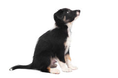 Border Collie puppy, isolated on the white Royalty Free Stock Image