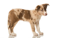 Border Collie Puppy Stock Image