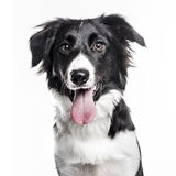 Border Collie puppy isolated on white Royalty Free Stock Photography