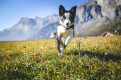 Border collie puppy jumps on a field stock photo