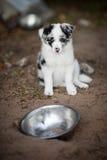 Border collie-puppy in kom Stock Afbeeldingen