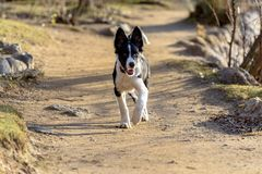 Border Collie Puppy in the Lake in the Schierbeck Park stock photo