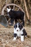 Border Collie puppy with lamb. On hay Stock Photos