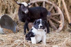 Border Collie puppy with lamb Royalty Free Stock Photo