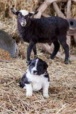 Border Collie puppy with lamb. On hay Royalty Free Stock Photos