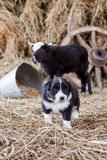 Border Collie puppy with lamb. On hay Stock Image
