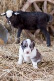 Border Collie puppy with lamb. On hay Royalty Free Stock Images