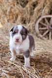 Border Collie puppy with lamb. On hay Royalty Free Stock Image
