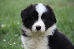 Border Collie puppy stock images