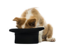 Border Collie puppy looking into a top hat Stock Image