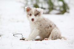 Border collie puppy looking at you. In winter Royalty Free Stock Photos