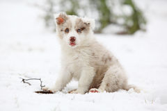Border collie puppy looking at you. In winter Royalty Free Stock Photo