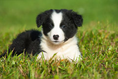 Border Collie puppy. Lying in a meadow stock photography