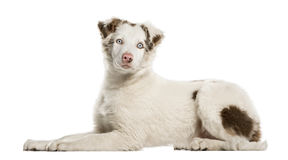 Border Collie puppy lying, 4 months old, isolated Royalty Free Stock Image