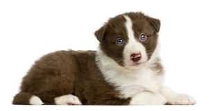 Border Collie puppy lying. Border Collie puppy (6 weeks old) lying in front of a white background royalty free stock images