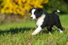 Border Collie puppy. In a meadow stock photos