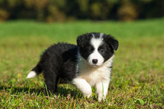 Border Collie puppy. In a meadow royalty free stock image
