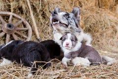 Border collie-puppy met een lam Stock Foto's