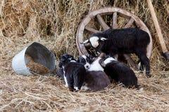 Border collie-puppy met een lam Stock Afbeeldingen