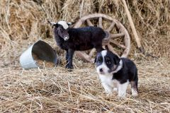 Border collie-puppy met lam Stock Fotografie