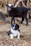 Border collie-puppy met lam Royalty-vrije Stock Foto's