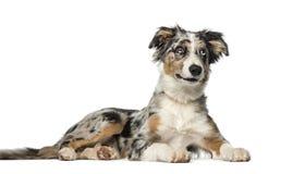 Border Collie puppy (5 months old) Stock Photos