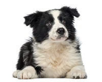 Border Collie Puppy, 3 months old, lying down and looking up Royalty Free Stock Photography
