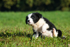 Border Collie puppy. In nature stock photos