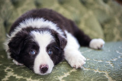 Border Collie Puppy. This is a photograph of a 8 week old border collie puppy. Note the beautiful blue eyes royalty free stock photo