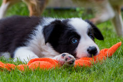 Border collie Puppy playing in the grass Royalty Free Stock Photos