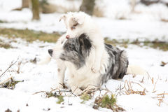 Border collie puppy playing with mother Royalty Free Stock Photos
