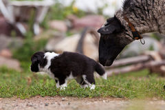Border Collie puppy playing outside on the farm Stock Photo