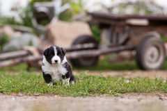 Border Collie puppy playing outside on the farm stock image