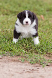 Border Collie puppy playing outside on the farm Stock Photos