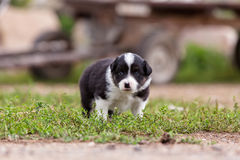 Border Collie puppy playing outside on the farm royalty free stock photography