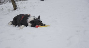 Border collie puppy playing in the snow Stock Photography