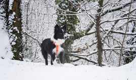 Border collie puppy playing in the snow Stock Image
