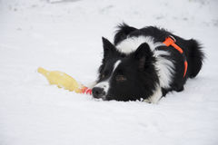 Border collie puppy playing in the snow Stock Photo