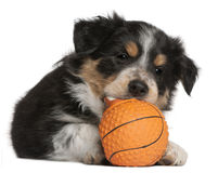 Border Collie puppy playing with toy basketball