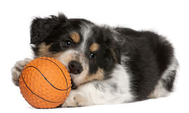 Border Collie puppy playing with toy basketball Royalty Free Stock Images