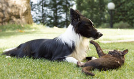 A border collie puppy plays happy with a cat Stock Photos