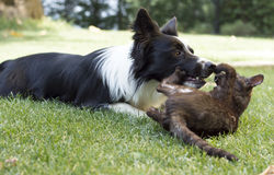 A border collie puppy plays happy with a cat Stock Image