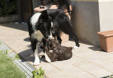 A border collie puppy plays happy with a cat Royalty Free Stock Image