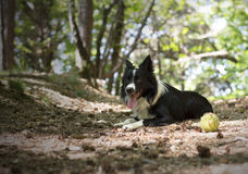 Border collie puppy relaxing with the ball, in the woods. Stock Photography