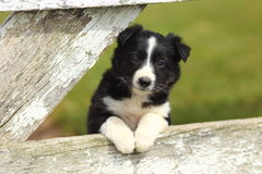 Border Collie Puppy Resting Paws on Rustic White Wooden Fence. A beautiful black and white Border Collie puppy rests his paws a on a rustic wooden fence with stock photography