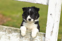 Border Collie Puppy Resting Paws on Rustic White Wooden Fence II. An adorable black and white Border Collie puppy rests his paws a on a rustic wooden fence with stock photos