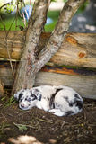 Border collie. Puppy rests on nature Stock Images