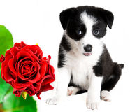 Border collie puppy and rose Stock Photos